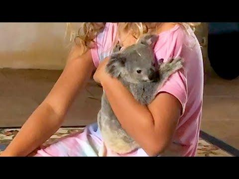 Clingy Baby Koala Who Loved Bedtime Stories Gets Rescued…Twice Video