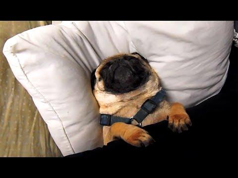 Sleepy Pugs Compilation