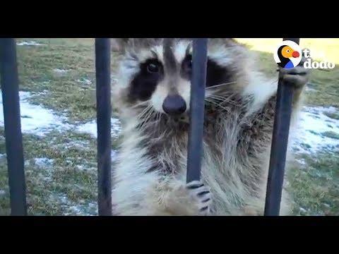 Raccoon Won't Leave Guy's Yard | The Dodo