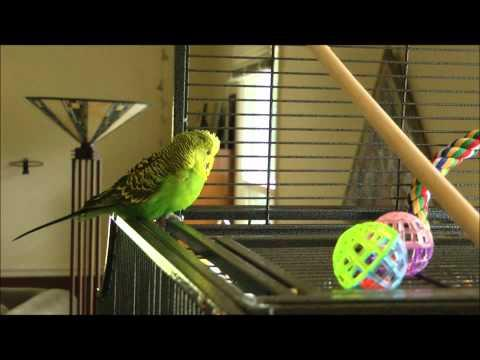 I'm Disco ( The Parakeet ) And I Know It!