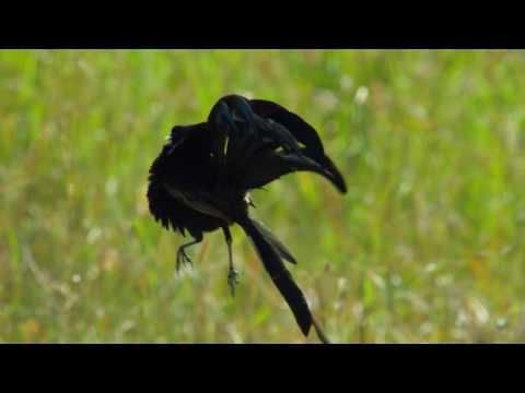 Widowbird Jumping Competition