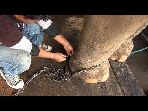 Rescued blind elephant Mee Boon and unchain her for the first time