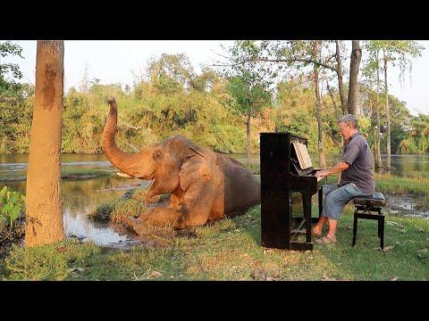 Calm Piano Music Relaxes Restless Bull Elephant Video