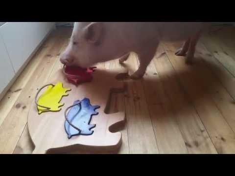 NEWS FLASH: Clever Pig Solves Pig Puzzle!