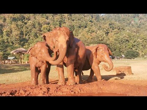 The Three Gossip Girl Elephants Keep Talking To Each Other Video