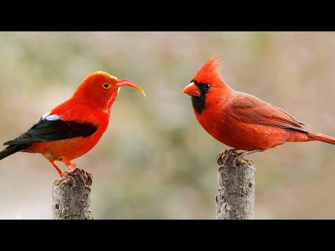 10 Most Beautiful Red Birds in the World Video