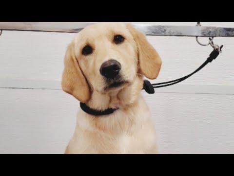 Very Cute Labrador/Golden Retriever Puppy Video