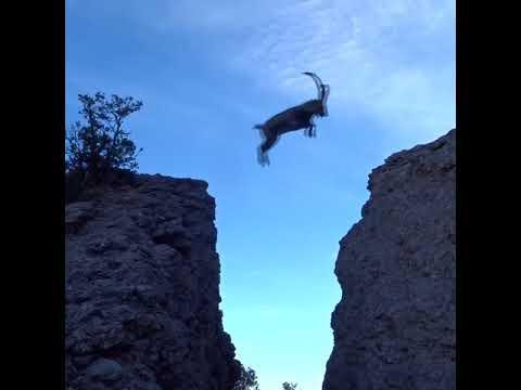 Amazing Goat Jump on Mountain Video