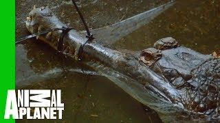 Priscilla The Tomistoma Croc Checked For Eggs | The Zoo
