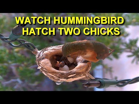 Mother Allen's Hummingbird Hatches Two Eggs and Feeds Baby Birds HQ Video