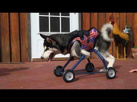Husky Puppy Walks For The First Time With Special Wheels