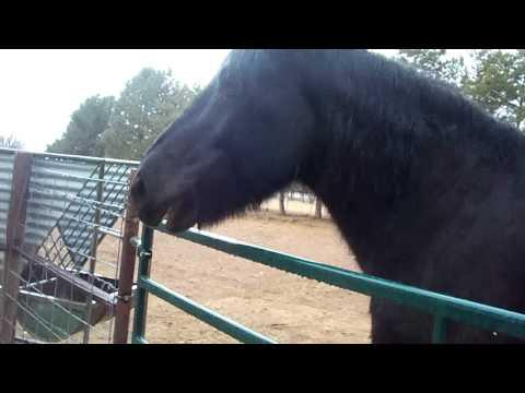 Draft Horse talking for food! Video
