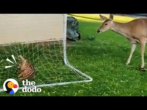 Mama Deer Is So Worried About Her Baby #Video