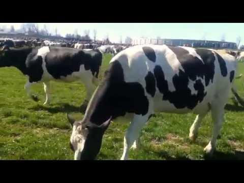 Cows Enjoying Spring