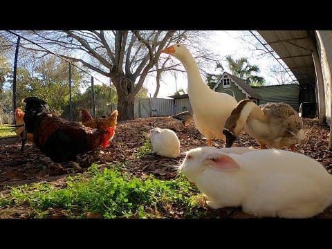 Rabbits, Ducks, Geese, Chickens, Roosters, Silky Chick | TexasGirly1979