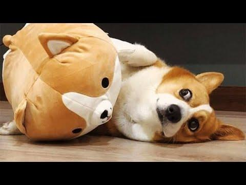 Super Cute And Funny Corgi Dog Video Compilation