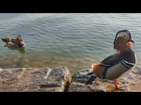 Mandarin Ducks being calm and content video