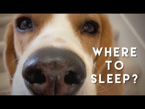 Cute beagle can't decide where to sleep video