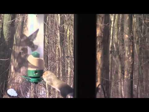 Squirrel Spins On Bird Feeder And Gets Dizzy