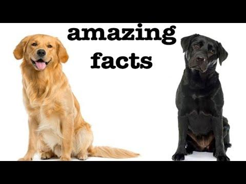amazing facts about labrador retrievers