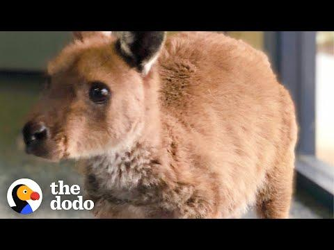 Orphaned Baby Kangaroo Meets His New Family For The First Time Video