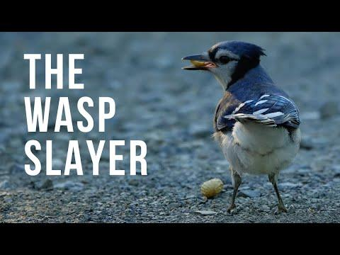 Fun and Interesting Blue Jay Behavior Video | The Wasp Slaye