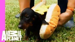 Tina The Dachshund Plays With Her Pups In Adorable Hot Dog Outfits | Too Cute!