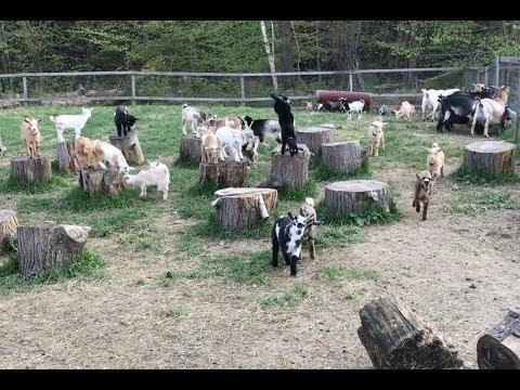 Goat KIds Gone Wild!