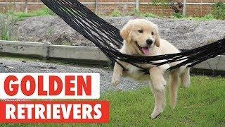 Good Goldens   Golden Retrievers Video Compilation 2017