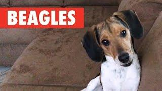 Breed All About It: Beagles