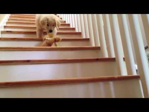 Boomer: The Golden Retriever Puppy