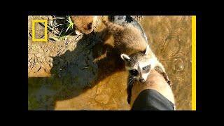 Adorable Raccoon Babies Make Human Friend | National Geographic