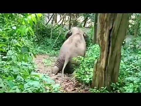 Baby Elephant Having Fun On Muddy Slope Video