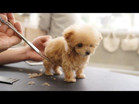 Toy Poodle Puppy Grooming for First Time Video