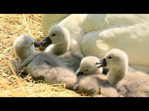 Mute Swan Nest, Eggs and Cygnets #Video
