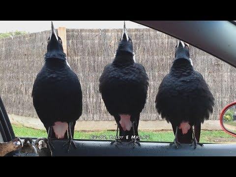 Serenaded by Australian Magpies Video