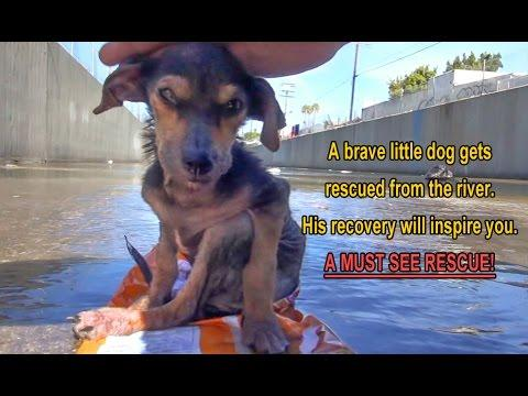 A Brave Little Dog Gets Rescued From The River. His Recovery Will Inspire You