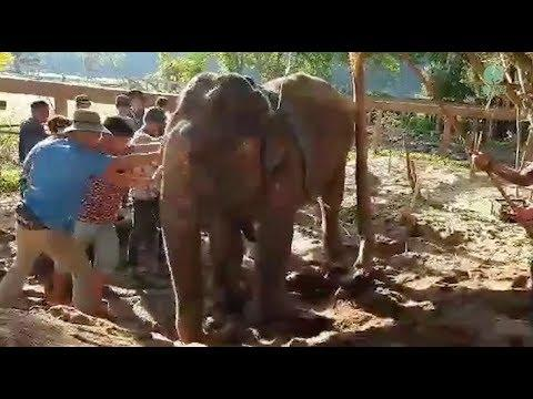 Mae Phong Sri the injured leg elephant
