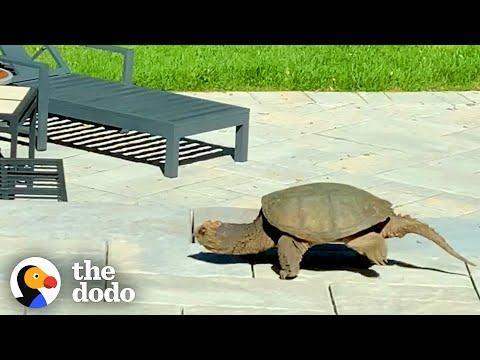 A Giant Snapping Turtle Showed Up This Family's Yard With An Amazing Surprise. Video