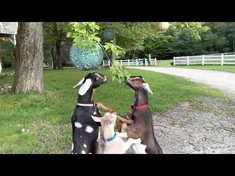 Dancing Goats Make Evening Chores Entertaining! #Video