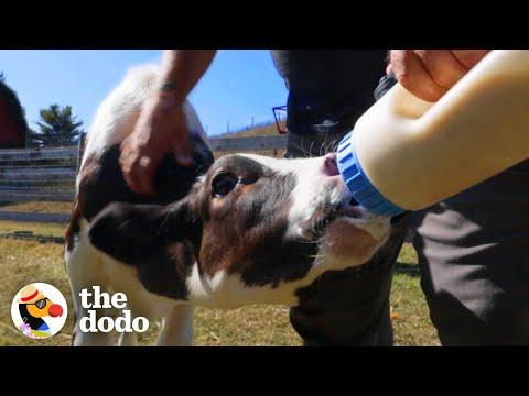 There's Nothing More Pure Than Cuddling A Rescued Baby Cow  | The Dodo Airbnb Experiences