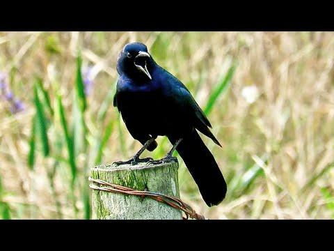 Boat Tailed Grackle Calling and Displaying