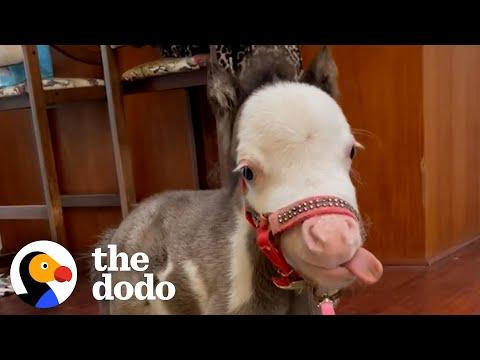 The Smallest Horse In The World Sits At... The Dinner Table? #Video