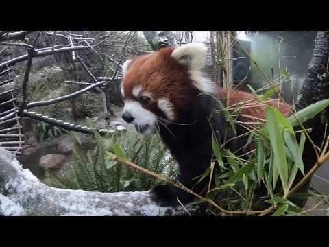 Red Panda Moshu Loves Snacks