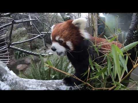 Red Panda Moshu Loves Snacks