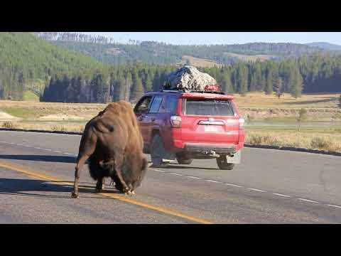 Incredible Yellowstone Bison Battle on the Road #Video