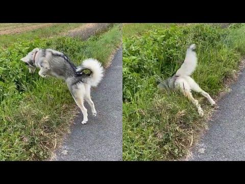 PROOF Dogs Are The Most Dramatic Animals #2 Video