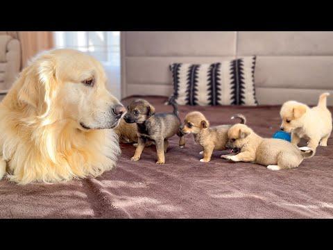 Adorable Golden Retriever Reaction to 5 Puppies! #Video