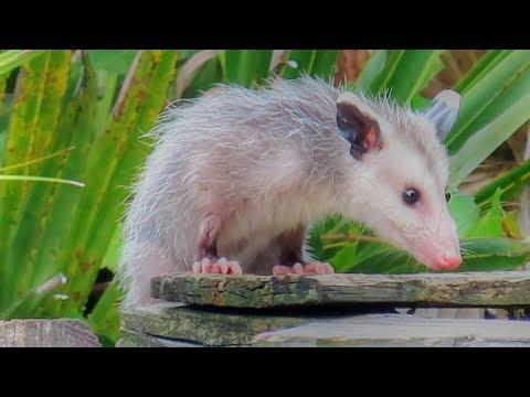 Pretty Possum