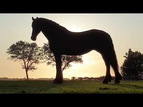 Catching Reintje the Friesian Horse.